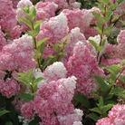 Hydrangea Paniculata Vanilla Fraise - 1 Plant