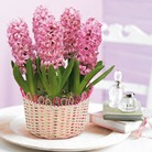 Pink Hyacinths - Bulbs In Traditional Basket