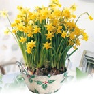 Narcissus Tete a Tete - Bulbs In A Basket