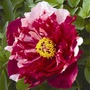Tree Paeony Dai Jin - Root Wrapped
