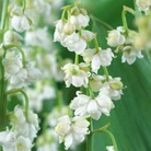 Rare White Double Lily of the Valley - 1 bulb