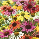 Cone Flower Collection - 5 Bareroot Plants
