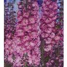 Delphiniums Sweetheart - 5 Plug Plants