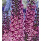 Delphiniums Sweetheart - 10 Plug Plants