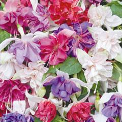 Spring Plants - Giant Fuchsia Collection  - 10 Plug Plants