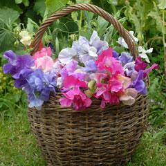 Spring Plants-Sweet Pea Sweet Dreams - 25 Plug Plants