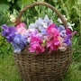 Spring Plants-Sweet Pea Sweet Dreams - 25 Plug Plants