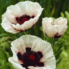 Oriental Super Poppy - 5 Bareroot Plants