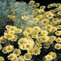 Marguerite Golden - 5 Plug Plants