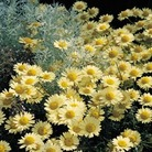 Marguerite Golden - 5 Plug Plants