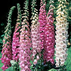 Foxglove Excelsior Hybrids - 6 Plants