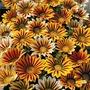 Spring Plants-Gazania Tiger Mix - 36 Postie Plug Plants