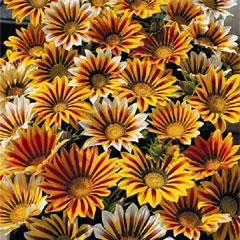 Spring Plants - Gazania Tiger Mix - 72 Postie Plug Plants