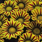 Gazania Big Kiss - 42 Plug Plants