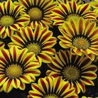 Gazania Big Kiss - 84 Plug Plants