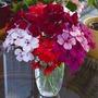 Spring Plants - Geranium Skyrocket - 10 Plug Plants