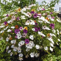 Spring Plants - Osteospermum Falling Stars - 5 Postie Plug Plants