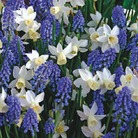 Autumn Bulbs-Rhythm & Blues Classic Combination -35 Bulbs