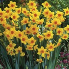 Autumn Bulbs-Daffodil Narcissi Falconet Bulbs (Pack of 10)