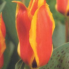 Greigii Tulip Bulbs - Donald Duck (Pack of 8 Bulbs)
