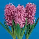 Autumn Bulbs-Prepared Hyacinth 'Pink Pearl'-3 Bulbs
