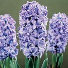 Autumn Bulbs-Prepared Hyacinth 'Delft Blue' -3 Bulbs