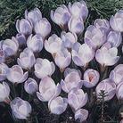 Autumn Bulbs-Crocus 'Blue Pearl'- 15 Bulbs
