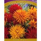 Spring Bulbs-Dahlia Salsa Nights-Pack of 3 Bulbs