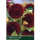 Spring Bulbs-Dahlia Tam Tam-1 Bulb