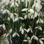 Autumn Bulbs-Snowdrops (Galanthus Elwesii) - 6 Bulbs