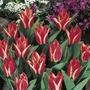 Autumn Bulbs-Tulip Greigii Pinocchio-Pack of 10 Bulbs