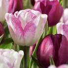 Autumn Bulbs-Tulips 'Raspberry Ripple Classic Combination'-15 Bulbs