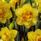 Autumn Bulbs-Tahiti Daffodil - Pack of 5 Bulbs