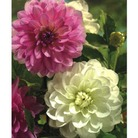 Dahlia - Marshmallow Moments - 3 Bulbs