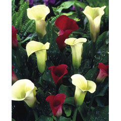 Spring Bulbs - Zantedeschia Fluted Beauties - 3 Bulbs