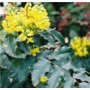 Mahonia aquifolium 'Oregon grape'