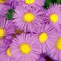 Erigeron 'Pink Jewel' 3 plants