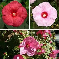 Hardy Hibiscus 3 pack - 1 bareroot each of pink, red sky and fancy eye