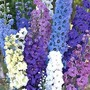 Delphinium Rising Stars Mixed 10 plants in 5cm pots