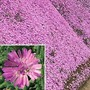 Delosperma Pink Ribbon  1 plant in 7cm pot