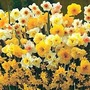 Narcissus Sweet Aroma Mixed 200 bulbs