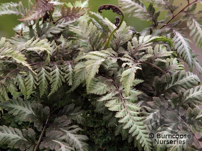 HARDY FERNS Athyrium niponicum 'var pictum'