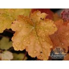 HEUCHERA 'Cr�me Brule'