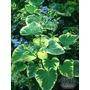 BRUNNERA macrophylla 'Hadspen Cream'