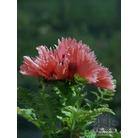 PAPAVER orientale 'Pink Ruffles'