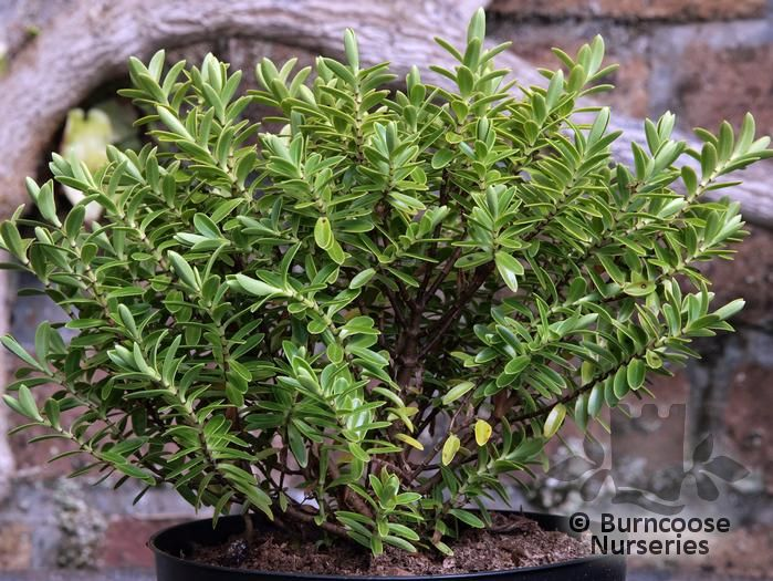 HEBE pinguifolia rakiensis