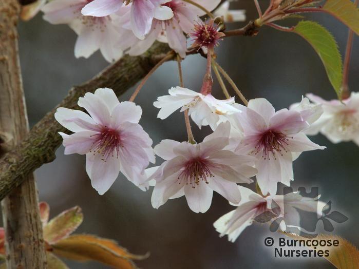 PRUNUS x subhirtella 'Autumnalis'