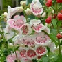Penstemon 'Dessert' Collection 3 x 5 Plants*