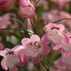 Penstemon Award Winning Collection 3 x 5 Plants*