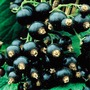 Josta Ribes Hybrid Black Currant x2